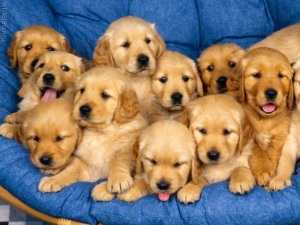 10 baby yellow retrievers