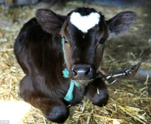 cow with heart shape on forehead