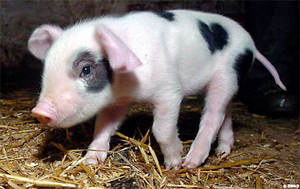 PIG WITH HEART MARKING