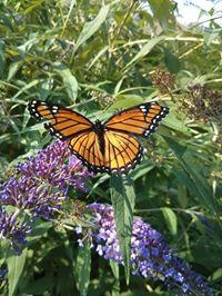 Carolina's butterfly2